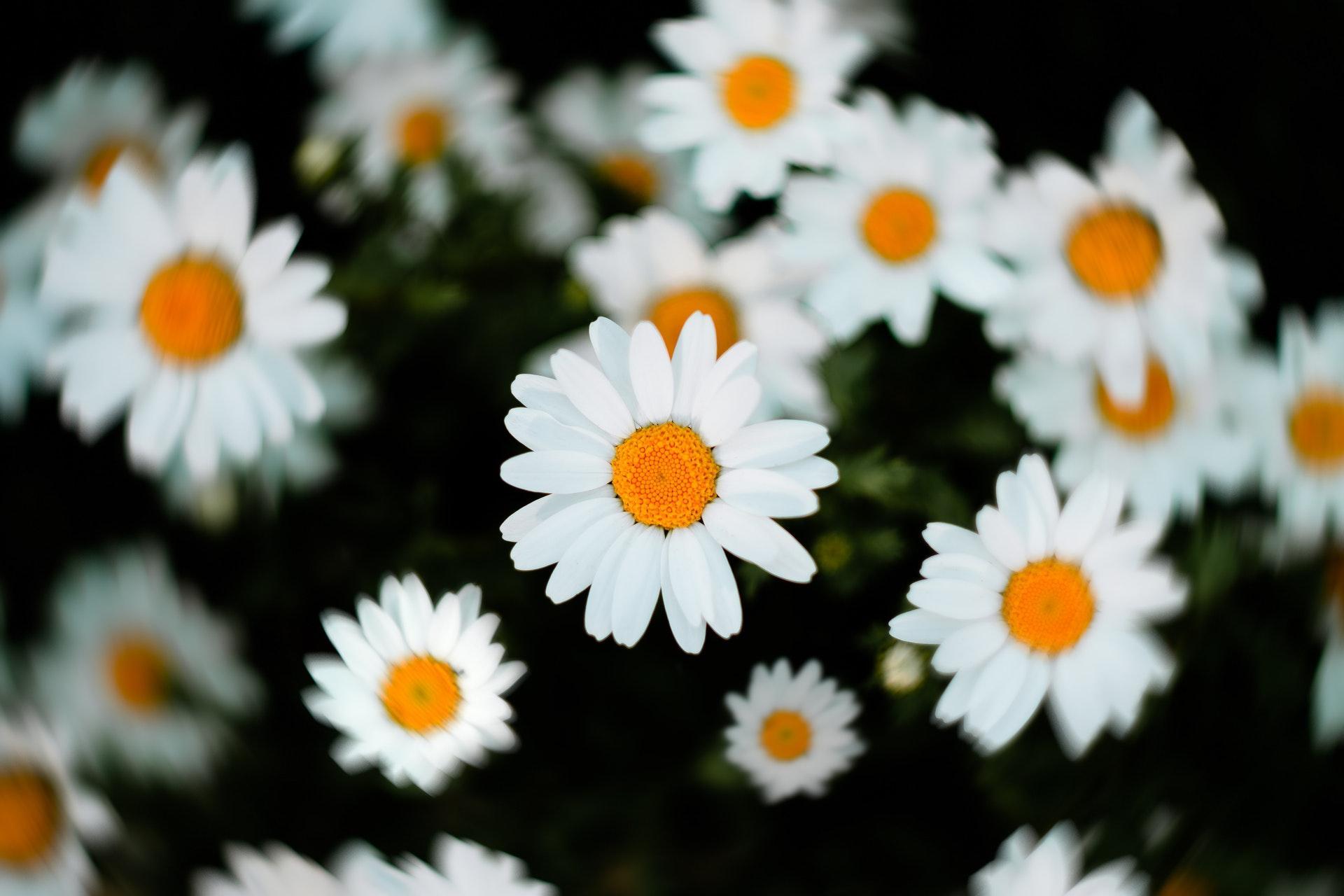 White flowers image